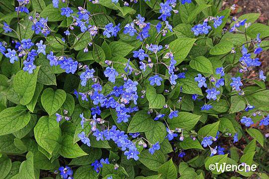 Omphalodes verna - Blue-eyed Mary (Omphalodes verna)