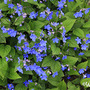 Omphalodes verna - Blue-eyed Mary (Omphalodes verna)