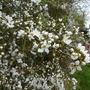Blackthorn Blossom (Prunus spinosa)