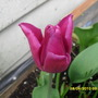 Tulip_pink