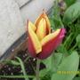 Tulip_red_cream