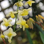 Epimedium versicolor Sulphureum. (Epimedium x versicolor (Barrenwort) sulphureum)