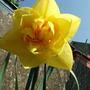 A Double Daffodil