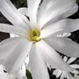 "Star Magnolia Open @ Last ""Blog"""