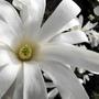 Flower Of My Star Magnolia :)