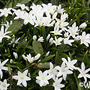 Chionodoxa luciliae gigantea alba (Glory of the snow) (Chionodoxa luciliae gigantea alba (Glory of the snow))