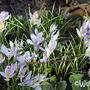 Crocus tommasinianus 'Lilac Beauty'
