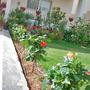 Hibiscus Border (Hibiscus rosa-sinensis (Chinese Hibiscus))