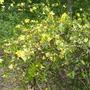Pretty unknown bush blooming by Badin Lake Eldordao, NC