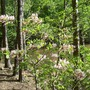 Pretty unknown bush again at Badin Lake, Eldorado, NC