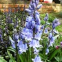 Blue bells with Ajuga