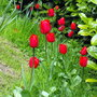 Red Tulips In Long Grass Area Of Garden