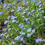 Forget-Me-Nots Drift