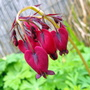Bleeding Heart Pic 4 Dawn:)