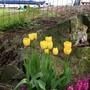 Tulipagoldenparade