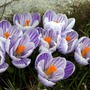 Crocusstriped