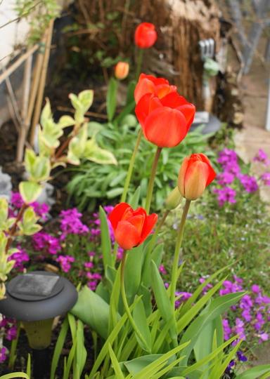 For Eileen OH yes I am red.... (Tulipa acuminata)