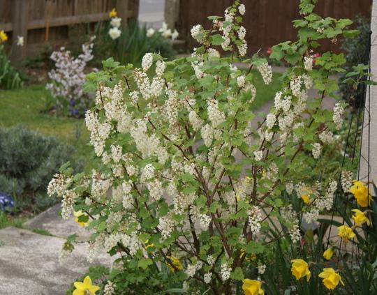 Ribus White Icicle (Ribes sanguineum)