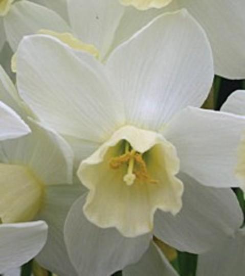 "Narcissus ""Sailboat"""