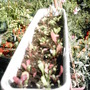 Lettuces_2_
