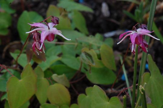 Epimedium Grandiflora 'Queen Esta' (Epimedium grandiflorum)