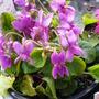 Viola 'Miracle Pink' (Viola 'Miracle Pink')