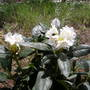 Rhododendron (Cunningham´s White)