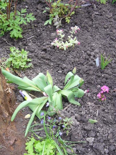 A garden flower photo (Pulmonaria rubra 'David Ward')