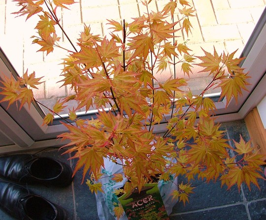 japanese maple (orange dream acer) (japanese maple orange dream acer)