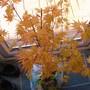 Acer_orange_dream_007