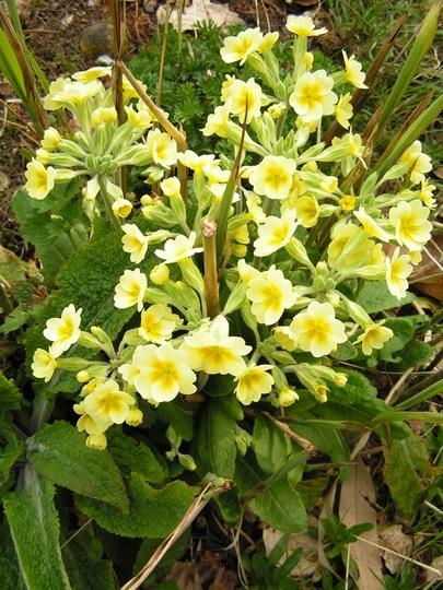 primula elatior (Primula elatior (Oxlip))