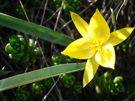 Tulipa biebersteiniana  (Tulipa biebersteiniana)