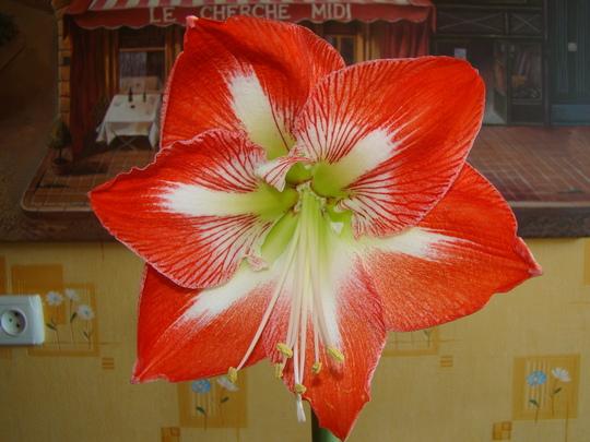 """Hippeastrum """"Minerva"""" flower (Hippeastrum amaryllis)"""