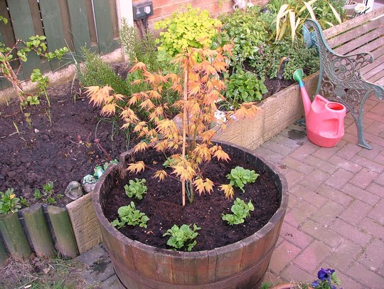 acer orange dream/yellow minulus planted up