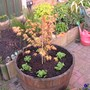Acer_planted_up_007