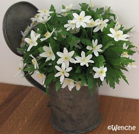 Anemone nemorosa - Windflower (Anemone nemorosa (Windflower))