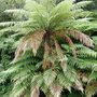 tree fern- new zealand (Dicksonia antarctica (Soft tree fern))
