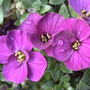 Aubrieta_hybrida_axcent_._violet_