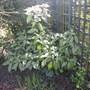 Aucuba japonica (Spotted Laurel)