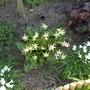 Erythronium 'Joanna'
