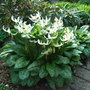 Erythronium_californicum_white_beauty_2010