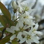 Amelanchier_ballerina_close_up_2010