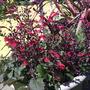 Salvia (variety unknown)