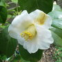 Camellia_japonica_devonia_2010