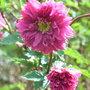 Rubus spectabilis 'Olympic Double' - 2010 (Rubus spectabilis 'Olympic Double')