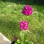 Primula_denticulata_ruby