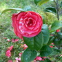 Camelia (Camellia rosiflora)