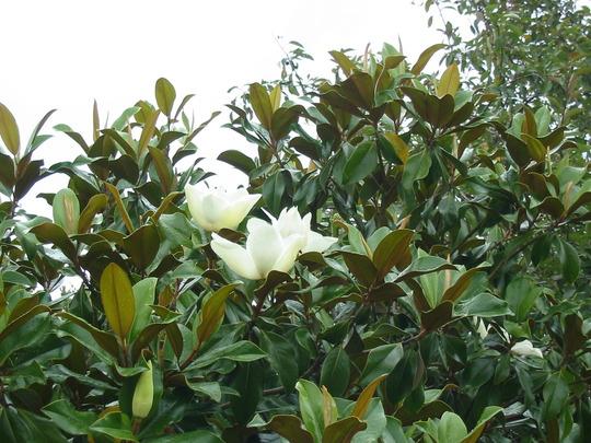 Magnolia tree front garden (Magnolia grandiflora (Bull Bay))