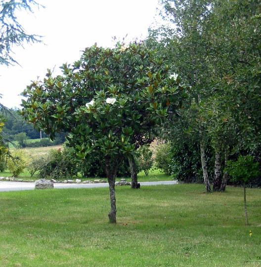 Magnolia tree (Magnolia grandiflora (Bull Bay))