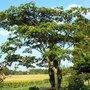 Umbrella_tree1